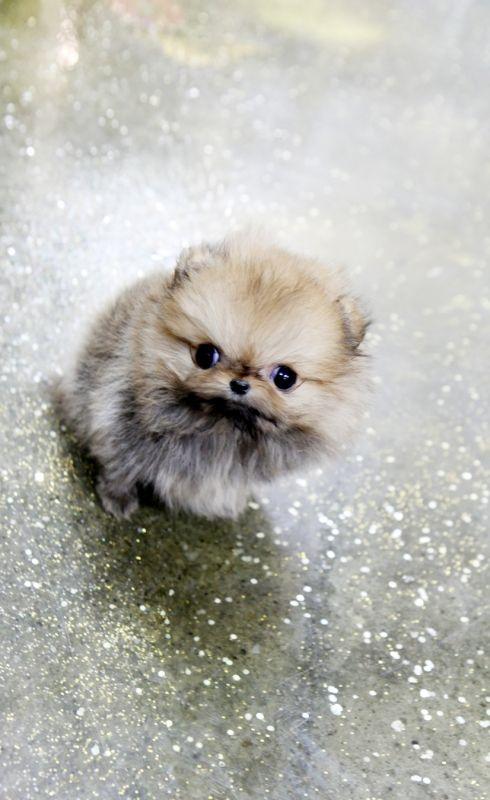 Pearl Tiny WHITE Micro Teacup Chihuahua Baby Girl