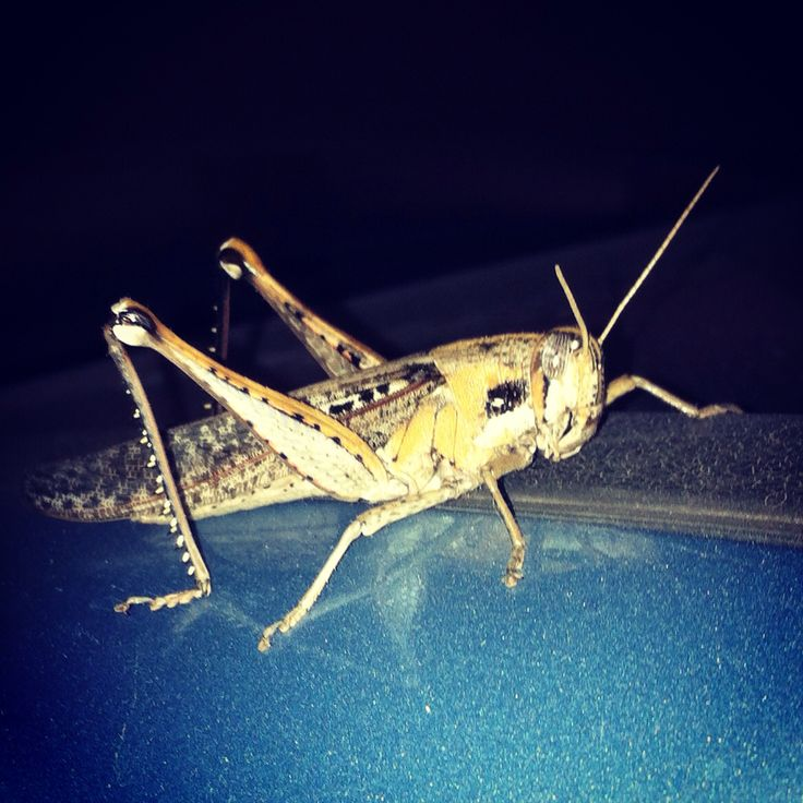 Grasshopper  Chapulin