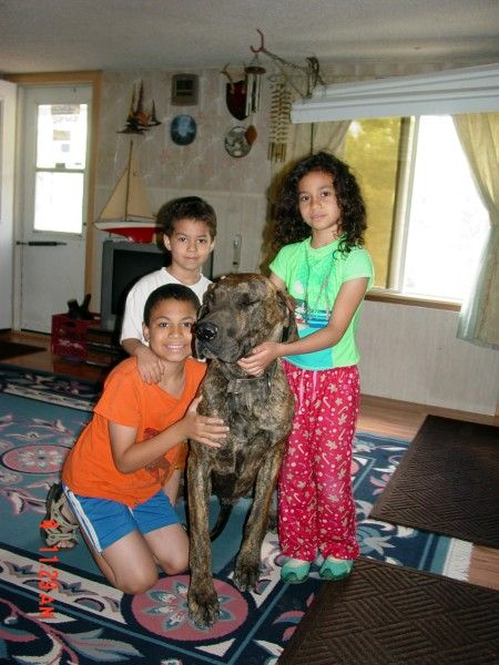 Fawn Brindle Great Dane Puppies For Sale Marshfield Mo Great