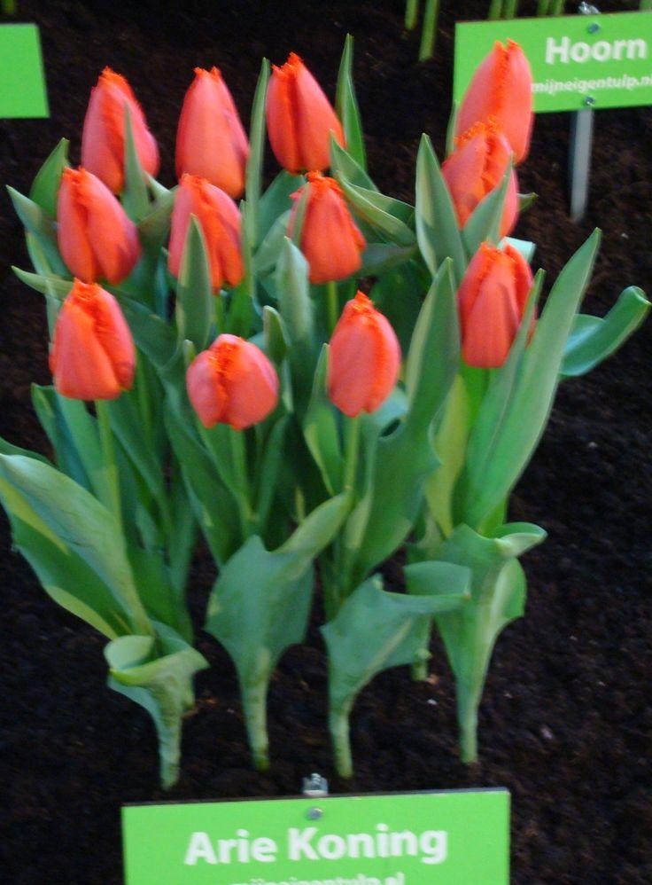 'N TULP NAAR ME VERNOEMD....De bollenkweker bleek een fan van mijn abstracte schilderijen met bloemen.... www.ariekoning.nl