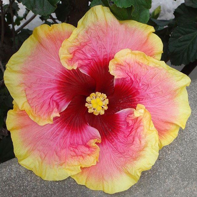 Colorlicious Hibiscus Gardens Colorlicioushibiscus Instagram Photos And Videos Hibiscus Garden Hibiscus Hibiscus Flowers