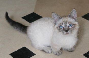 Elevage de la Belle Cajun - eleveur de chats Munchkin poil court et poil long