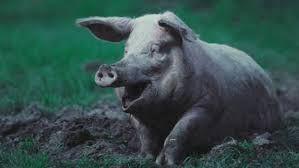 Afbeeldingsresultaat voor modder varken