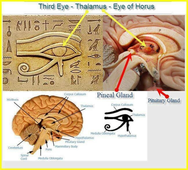 eye of horus eye of ra thalamus pineal gland third