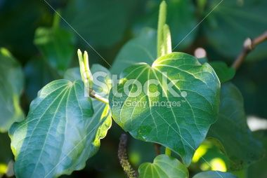Kawakawa (Piper excelsum) Royalty Free Stock Photo