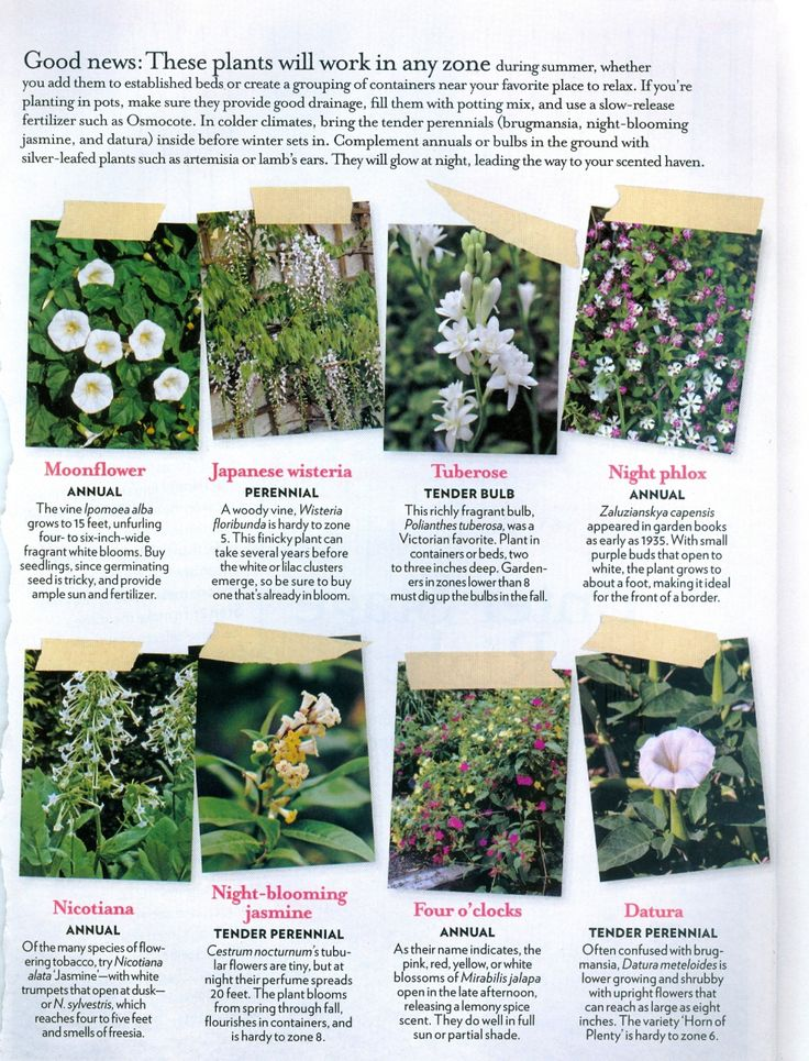 Fragrant Is The Night.  Here are nine knockout plants whose winning features emerge as the sun sets:  Brugmansia, Moonflower, Japanese Wisteria, Tuberose, Night Phlox, Nicotiana, Night-blooming Jasmine, Four O'clocks, & Datura.  Article in Country Living.