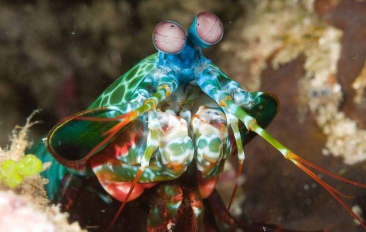 Marinha camarão mantis