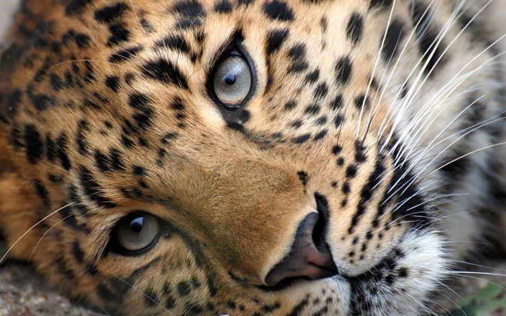 big cats   Wild Animals Big Cats   Beautiful Creatures ... - photo#5