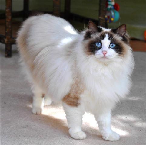 Ragdoll Cat Breed Profile - Breed Information with Description ... - #ragdollcatbreeds -Tops Cat Breeds at Catsincare.com!