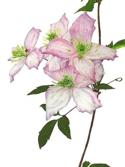 """Anna Mason Art   Clematis Montana Botanical print from an original watercolor £60 9"""" x 12"""" Shipped worldwide http://annamasonart.com"""