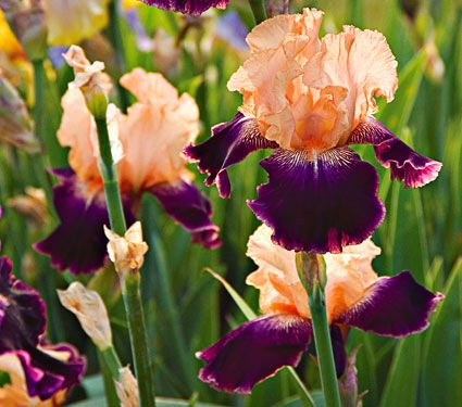 Iris Fashion QueenFall Shipped ...(full sun perennial) White Flower Farm