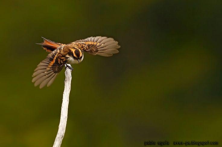 mis fotos de aves: Rayadito [Aphrastura spinicauda] Thorn-tailed raya...