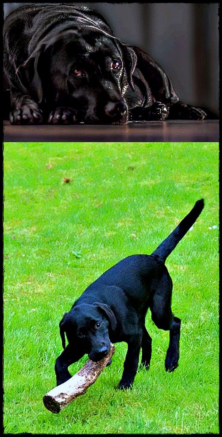Labrador Breeders Near Me Going To Buy Labradorlion