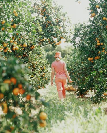 Stock Photo : Woman walking in orange grove with basket.