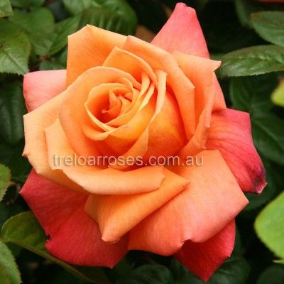 ROYAL DANE :- A most unusual and decorative rose.