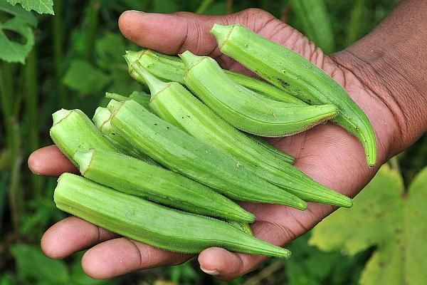 Grădina din baloți de paie sau mai bine zis cultivarea legumelor sau a plantelor aromatice în baloți este o tehnică promovată în ultima perioadă pentru agricultura în spații mici sau ca o variantă inedită de grădinărit. Totodată, această...
