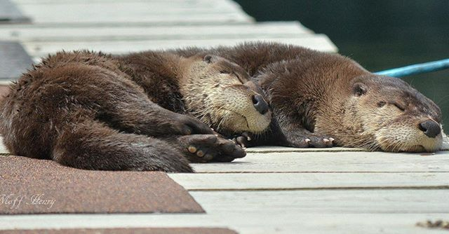 Happy #worldotterday!  Otter Spotters, we need your help tracking river #otters across Washington. Submit your photos and sightings to help our #conservation scientists collect more data: www.zoo.org/otterspotter  Spotted: otters at a marina near #LaPush, WA,  by Susan Moff Henry.