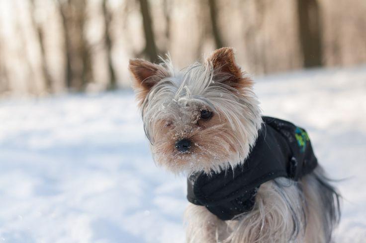 WInter Potrait - Little Yorkie in winter