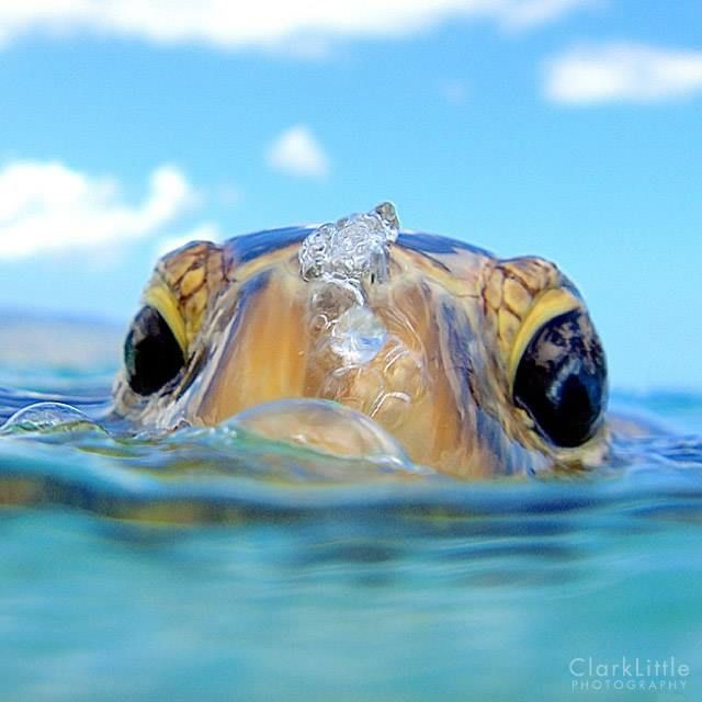 Hawaiian Green Sea Turtle (Honu) coming up for air. Photography by Clark Little