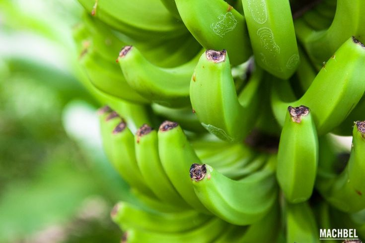 Platanológico, la agricultura ecológica del plátano en Canarias
