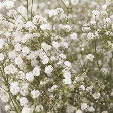 How to plant and grow baby's breath. good gardening website