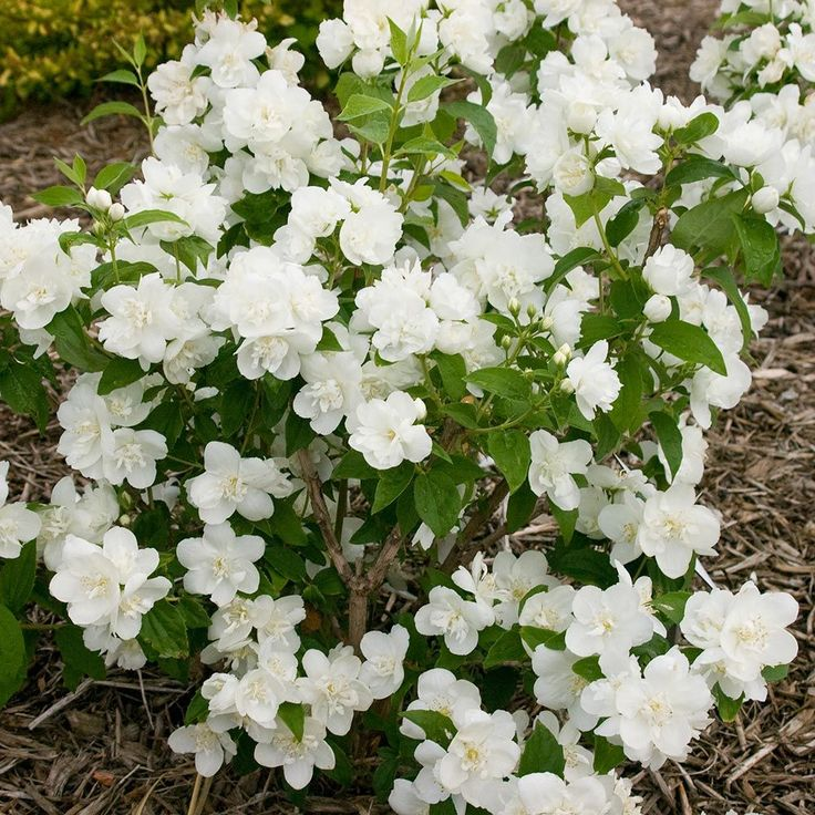 19 best philadelphus images on Pinterest | White flowers, Beautiful ...