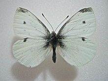 Pieris rapae - Cabbage White: A horizontal black patch at tip of wing; male with one spot, female with two in middle of forewing; hindwing unmarked pale yellow, grayish white, or white. Pest of cabbage, nasturtium, mustards.