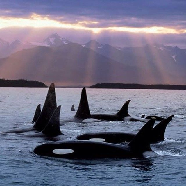 May the orca all be free one day. Killer whale. Pledge to never buy a ticket to any marine park.