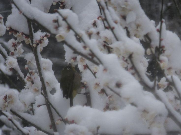雪と梅と鶯