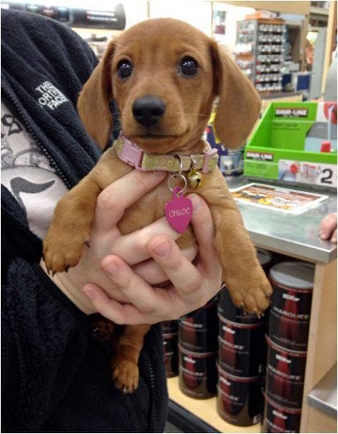 This looks just like my hotdog when she was a baby! XD