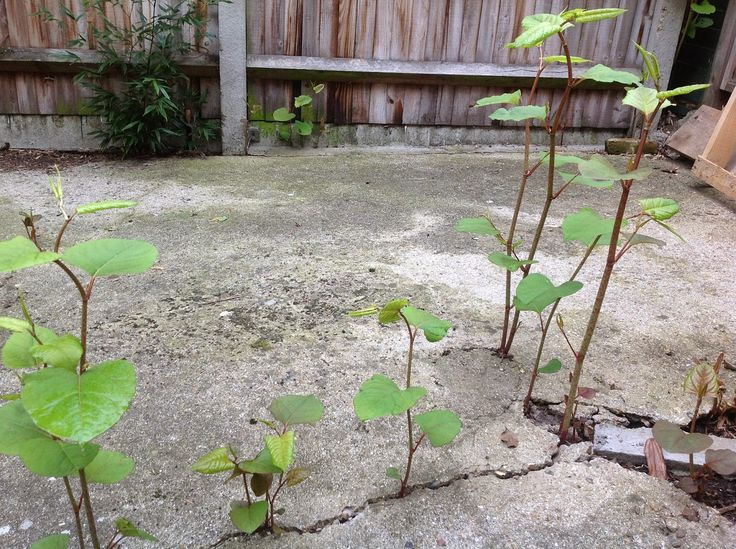 Japanese Knotweed - Not a weed to ignore! - The impact of the discovery of Japanese Knotweed on land and buildings can prove to be very significant.  Land values can be reduced to take into account remediation works, foundations, walls and other structures can be damaged in addition to the possible refusal of a mortgage.