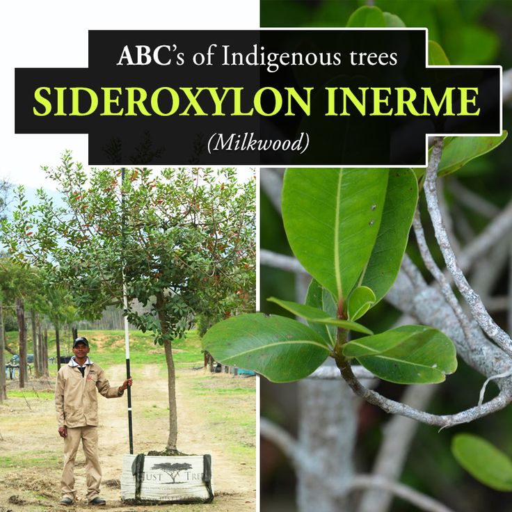 The Sideroxylon inerme or Milkwood is a small to medium sized evergreen and it is a protected tree in South Africa. Commonly found in dune forests and coastal woodlands, the Milkwood has a dense foliage, black berries and small, dainty white flowers. It also serves as an excellent firebreak.