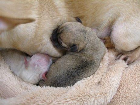 一般的に生後1ヶ月までは、または生後2週目までを、新生仔といいます。 この時期は、あらゆる器官の発達、特に神経系の発達が目覚ましい時期なので、 母犬によるケアがとても大切です。  新生仔の発達段階は、三つにわけて考えます。 第一段階 生後0-24時間 第二段階 生後1-14日 第三段階 生後15-28日  第一段階 生後0-24時間 まず生まれた直後から1時間の間に、心臓・呼吸システムの安定化がなされます。 心臓は、子宮内の胎児循環系から成犬循環系へと大転換していきます。 体温は、出生直後は子宮と同じ39℃ですが、 生まれて数分のうちに、35.5℃まで下降します。 子宮の中にいた時と、子宮から外界へ出た時ではシステムが大きく変わるからです。 さらに、1-24時間で、体内での様々な生体適応が行われます。  第二段階 生後1-14日 第一段階で、生存に対する適応が出来ると、つぎに各器官の急速な発達が起こります。 特に、神経系は急速に発達します。 頭や頸部も安定し、前脚の支持反射も始まります。 生後6日目からは、かなり這い回れるようになります。 造血系も昨日を開始し、…