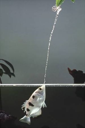 The Archerfish are a small family of fish, comprised of only seven species, that have a unique way of collecting their prey. They use their specialized mouth to shoot drops of water into the air to waylay unsuspecting land insects or small animals and get them to drop into the water to be eaten. They are both freshwater and marine fish. Naturally, individuals of this family tend to spend most of their time near the surface.