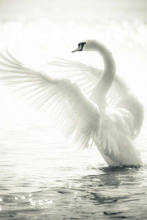 Absolutly Beautiful #swan #bird #water