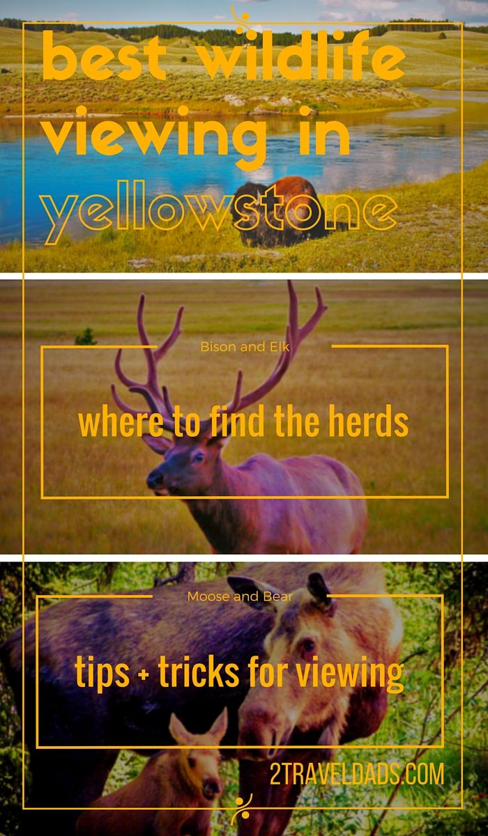 Tips and locations for the best wildlife viewing in Yellowstone National Park...possibly the best wildlife experiences in the USA! Moose, bears, bison...