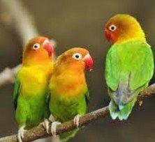 http://jenisburung.com/suara-lovebird-gacor.html