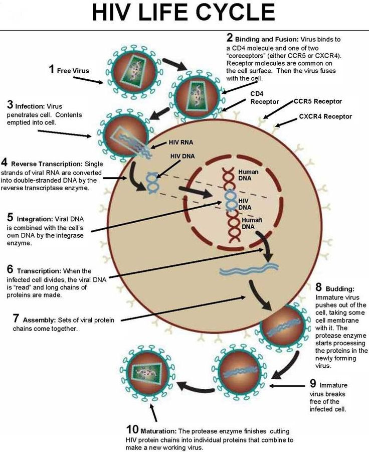 HIV (Human Immunodeficiency Virus):lentovirus (slowly-replicating retrovirus); has RNA as genetic material and synthesizes DNA, using reverse transcriptase to incorporate its genetic material into host's genome; causes acquired immunodeficiency syndrome (AIDS); may be spread by contact with body fluids, including blood/semen; binds to CD4 receptors on the surface of target cells within its host; uses host cell's own enzymatic machinery-drugs can interfere w/ host's functions & cause side…