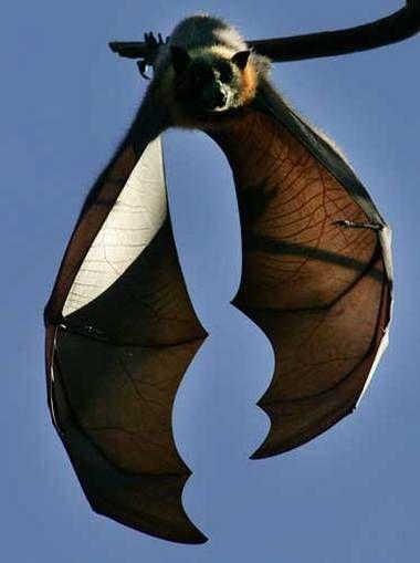 Grey-Headed Flying Fox (fruit bat) Sydney Botanic Gardens.