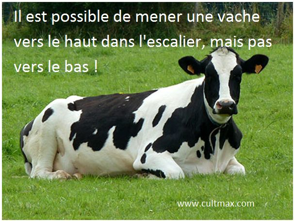 culture générale . vache