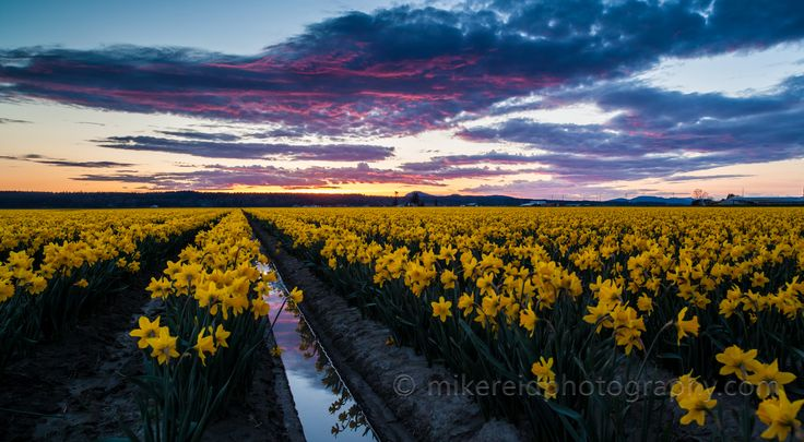 mike cunningham nature photogrphy | First Visit to the Skagit Valley for Daffodils | Mike Reid Flower and ...
