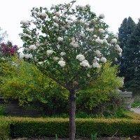 Sneeuwbal op stam (Viburnum carlcephalum stam) boompje van ca 1 m hoog