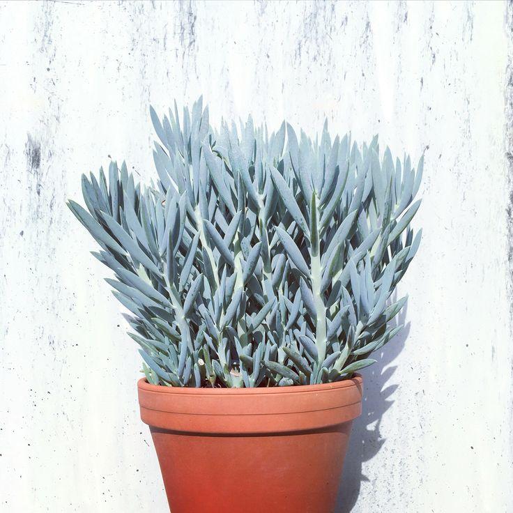 Populaire 33 best Senecio images on Pinterest | Succulent plants, Mount  EZ59
