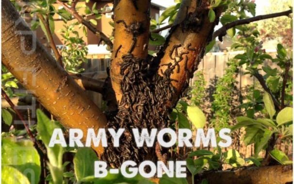 Kill Tent Caterpillars/Army Worms With This Natural Solution