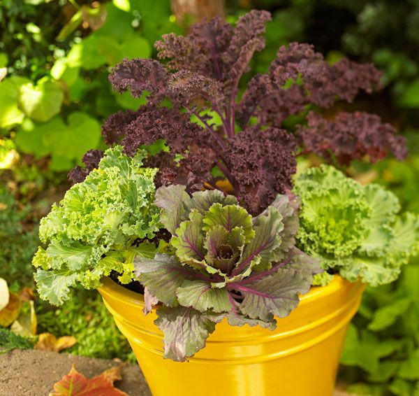 Planting Kale In Pots: 20 Best *Fall And Winter Container Garden Ideas* Images On