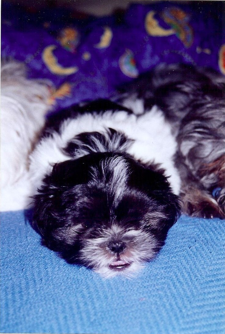 My beautiful Maxi as a puppy - he's actually lying between his mum and dad....cute!