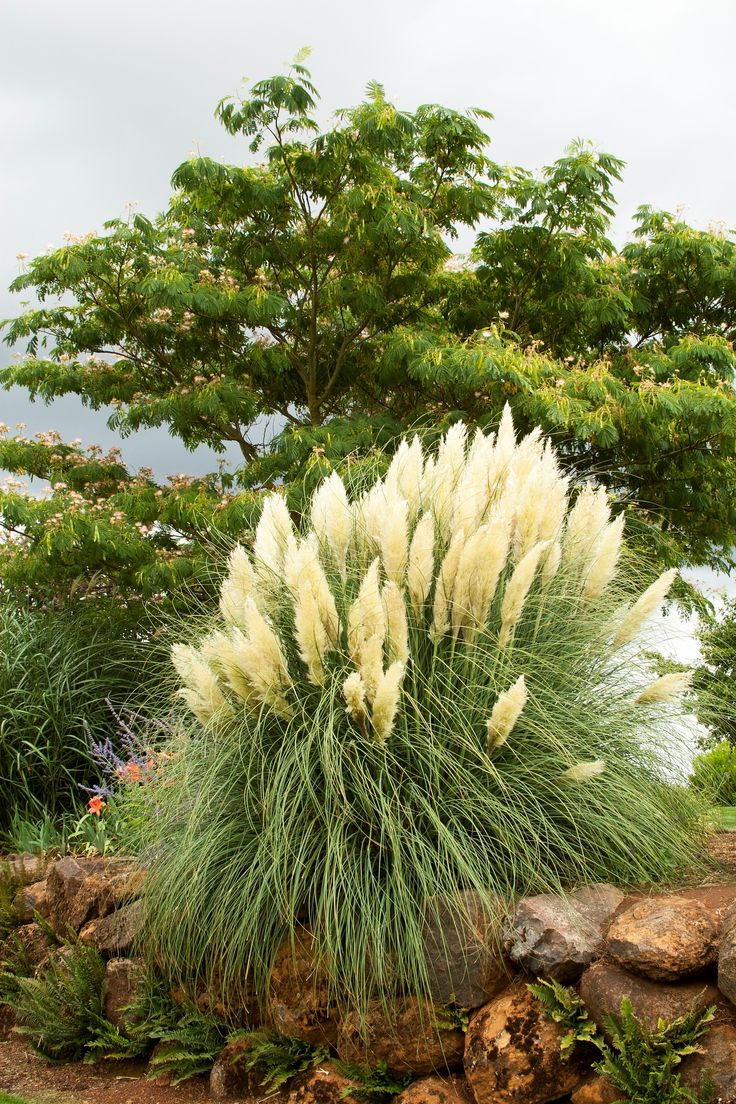 143 best cortaderia selloana images on pinterest for Dwarf perennial ornamental grasses