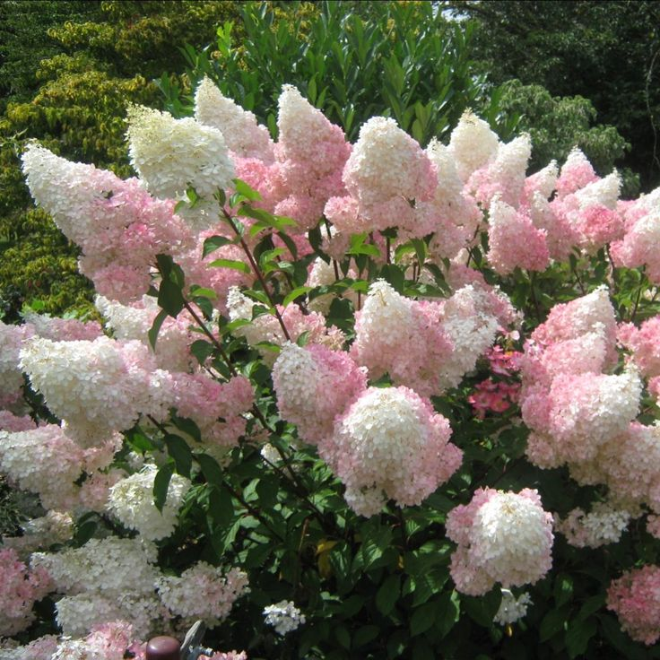 Sådan planter man syren hortensia
