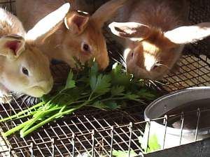 Plants to grow to feed rabbits