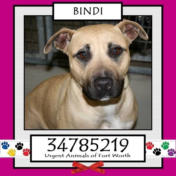 TO BE DESTROYED 04/20/17 ***REASON: MEDICAL*** BINDI - 2 years old - Pit Bull Terrier Mix - 34785219 - Heartworm Positive - #34785219 - FOR MORE PICS, VIDEOS & INFO: http://www.dogsindanger.com/dog/1490555054444